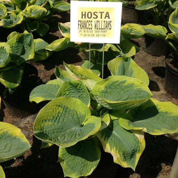 Hosta 'Frances Williams' | Shade Perennials for Sale Online