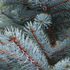 Bizon Blue spruce
