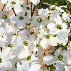 'Cherokee Princess' Flowering Dogwood