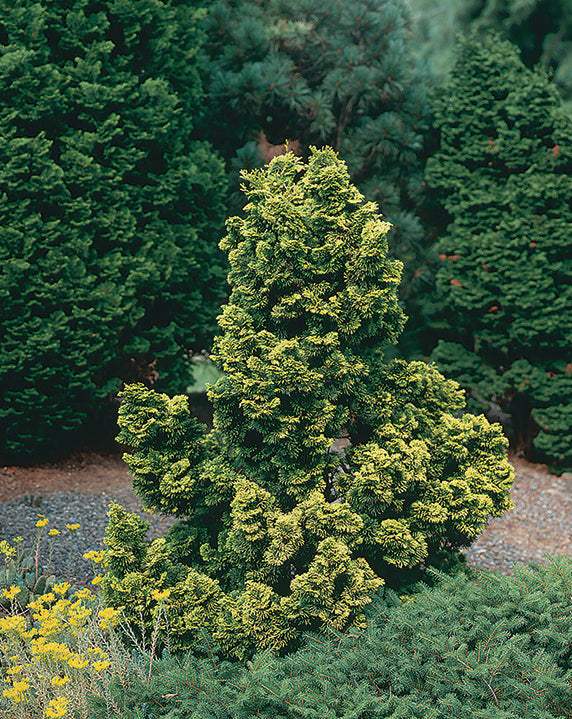Dwarf Golden Hinoki Cypress