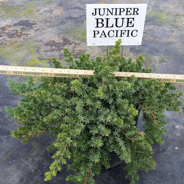 Juniper 'Blue Pacific'
