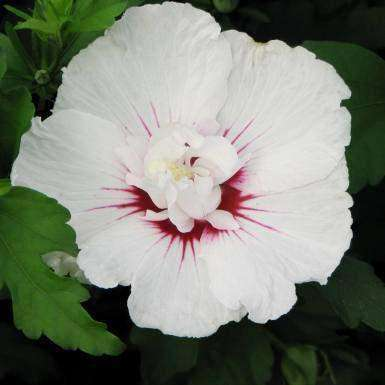 Buy Hibiscus 'Bali' Online | Deer Resistant Flowering Shrub | Bay Gardens