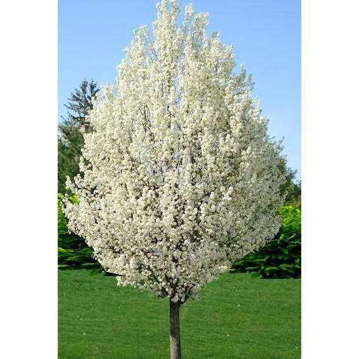 Buy Flowering Pear Tree Online Mature Trees For Sale Bay Gardens