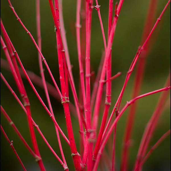 Japanese Maple 'Coral Bark'