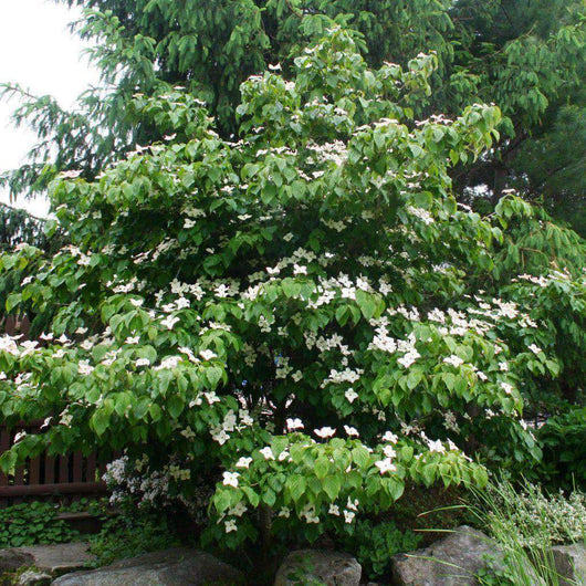 Kousa Flowering Dogwood