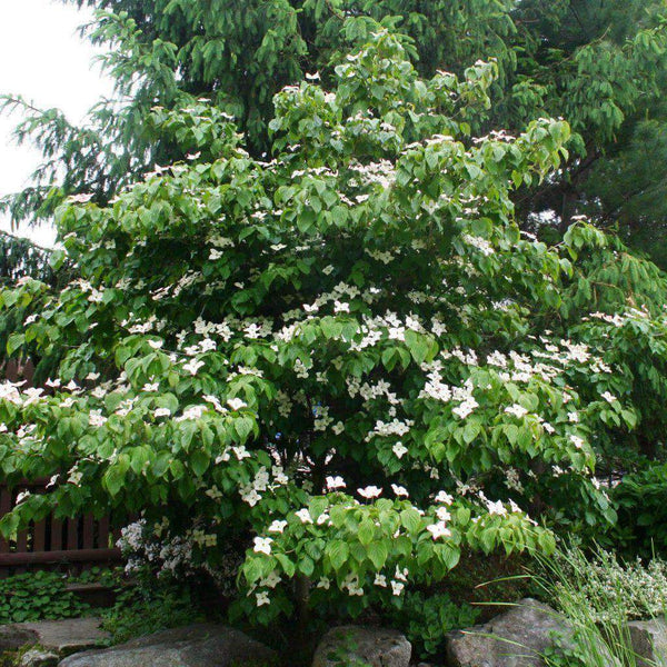 Dogwood Flowering 'Kousa'