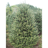 6-8 ft Tall Fraser Fir Christmas Tree