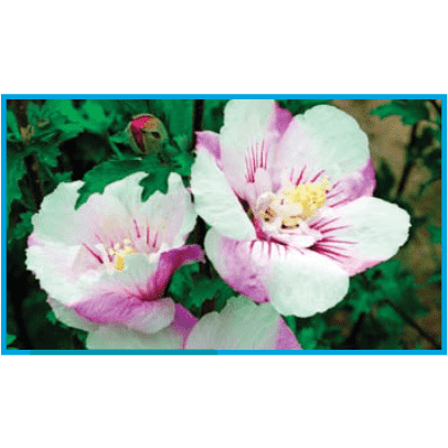 Hibiscus syriacus First Editions® 'Fiji'  ('Minspot')