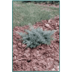 Juniperus chinensis 'Angelica Blue'