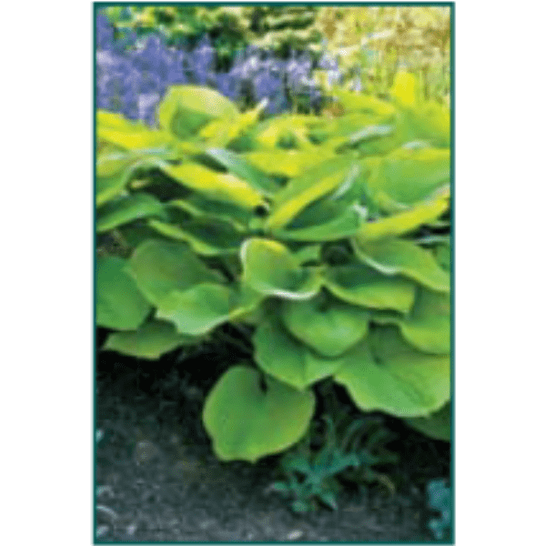 Hosta 'Sum & Substance'-Bay Gardens NY-Bay Gardens