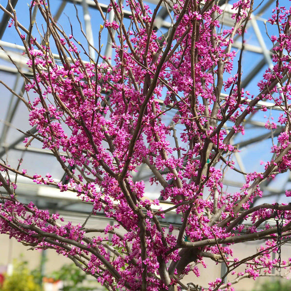 Rising Sun Red | Cercis canadensis 'Rising Sun' | Copyright Bay Gardens