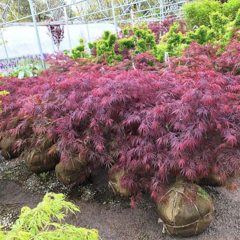 'Tamukeyama' Japanese Maple