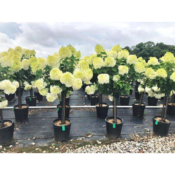 Hydrangea paniculata 'Limelight Tree Form'