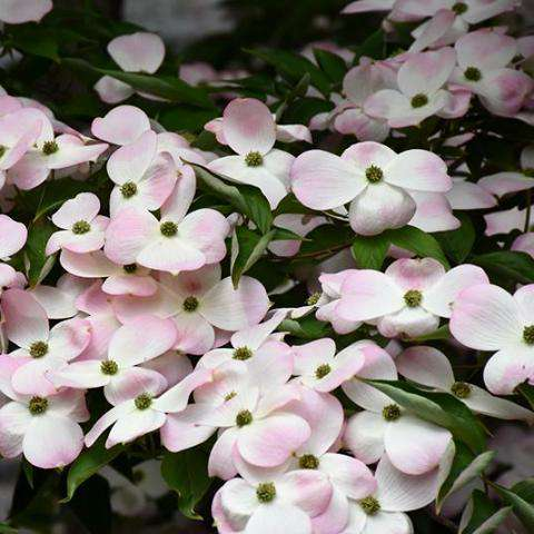 'Stellar Pink' Flowering Dogwood