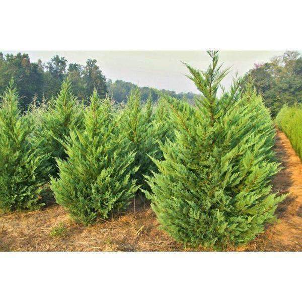 Leyland Cypress | Fast Growing Privacy Tree | Bay Gardens featured