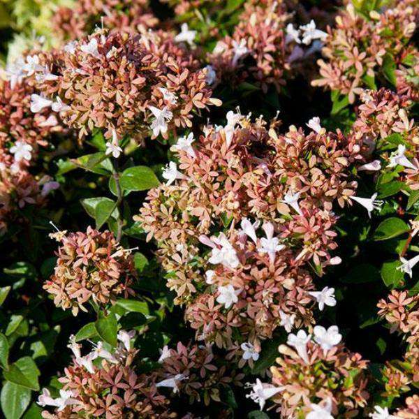 Buy Rose Creek Abelia Online | Flowering Evergreen Shrubs | Bay Gardens