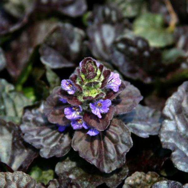 'Black Scallop' Ajuga | Groundcover Plants