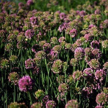Buy Allium 'Summer Beauty' Online | Deer Resistant Perennial | Summer Flowering Perennial