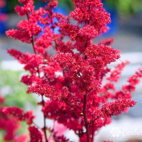 "Buy Astilbe 'Fanal"" Online 