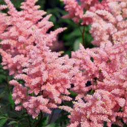 Buy Astilbe 'Peach Blossom' Online | Shade & Sun Perennials for Sale | Bay Gardens