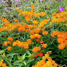 Buy Asclepias Tuberosa Online | Butterfly Weed | Orange Flower | Native Plants