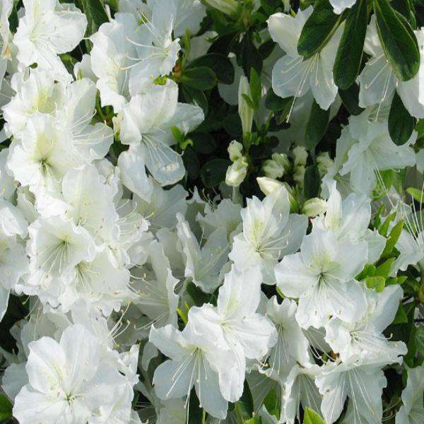 Buy Delaware Valley White Azalea | Flowering Evergreen Shrubs | Bay Gardens