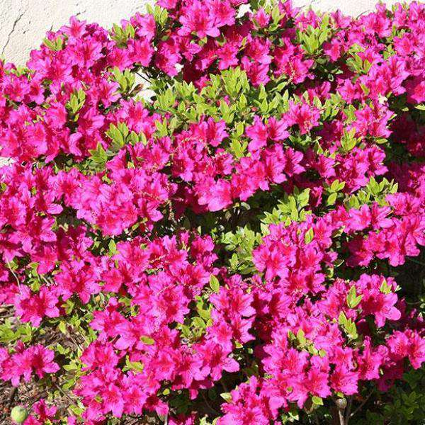 Buy Girards Fuschia Azalea Online | Flowering Evergreen Shrubs | Bay Gardens