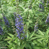 Vitex agnus-castus 'Blue Diddley®'