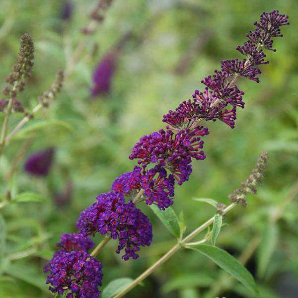 Buy Buddleia 'Black Knight' Online | Flowering Shrubs for Sale | Bay Gardens