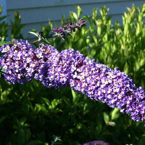 Buy Nanho Blue Butterfly Bush Online | Shop Flowering Shrubs | Bay Gardens