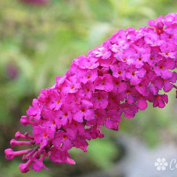 Buy Buddleia 'Royal Red' Online | Flowering Shrubs for Sale | Bay Gardens