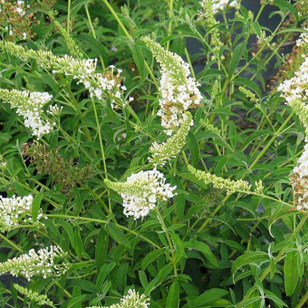 'White Profusion' Butterfly Bush