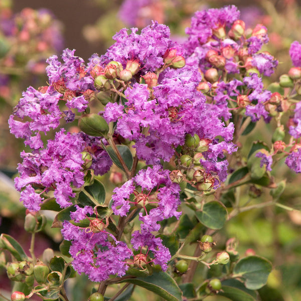 Crape Myrtle Catawba (Purple)