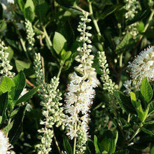 Buy Clethra alnifolia Online | Flowering Shrubs for Sale | Bay Gardens