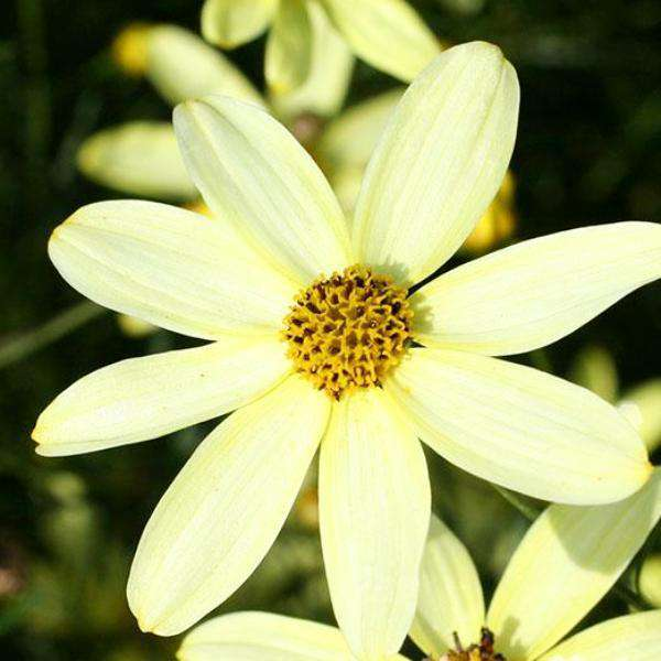 Buy Coreopsis 'Moonbeam' Online | Flowering Perennials for Sale | Bay Gardens