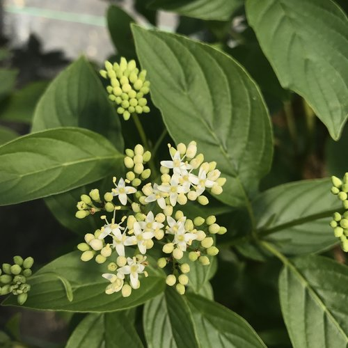 Arctic Fire® Yellow Red-Osier Dogwood