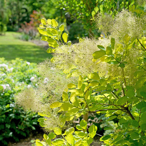 Winecraft Gold® Smokebush