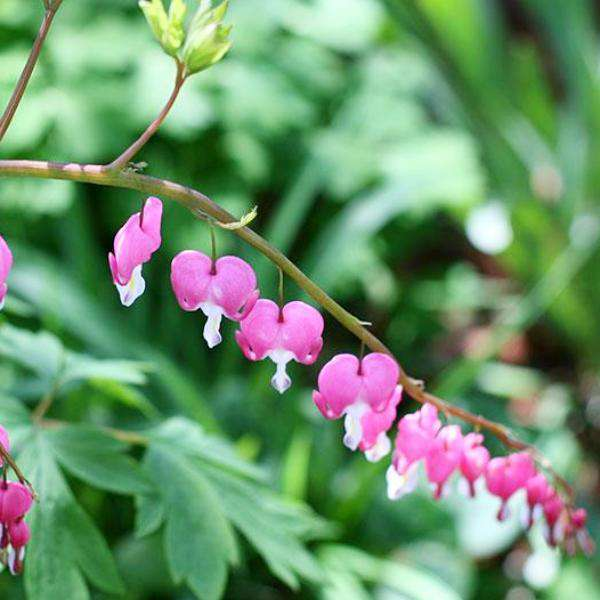 Buy Bleeding Hearts Online | Shde Perennials for Sale | Bay Gardens