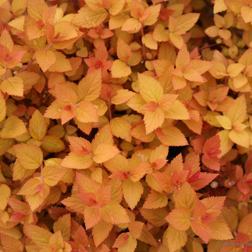 Spiraea jap. Double Play 'Candy Corn®'