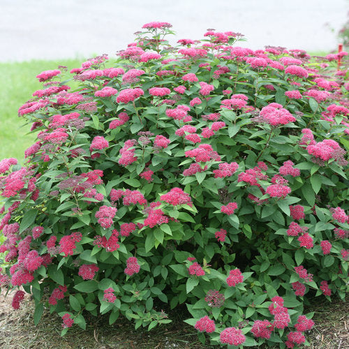 Spiraea jap. Double Play 'Red®'