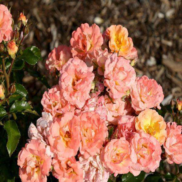 Rosa 'Peach Drift'