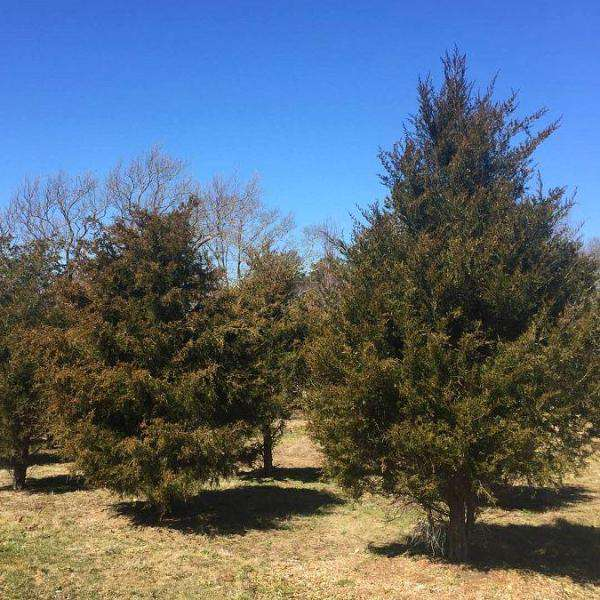 Buy Eastern Red Cedar Online | Native Privacy Evergreen Tree | Bay Gardens