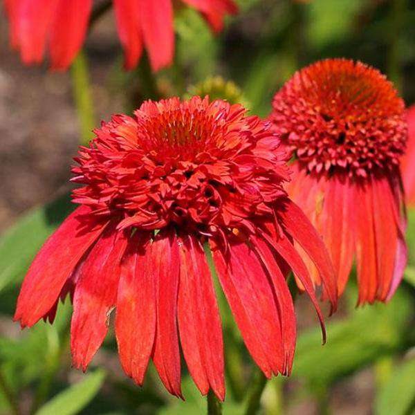 Buy Echinacea 'Hot Papaya' Online | Sun Perennials for Sale | Bay Gardens