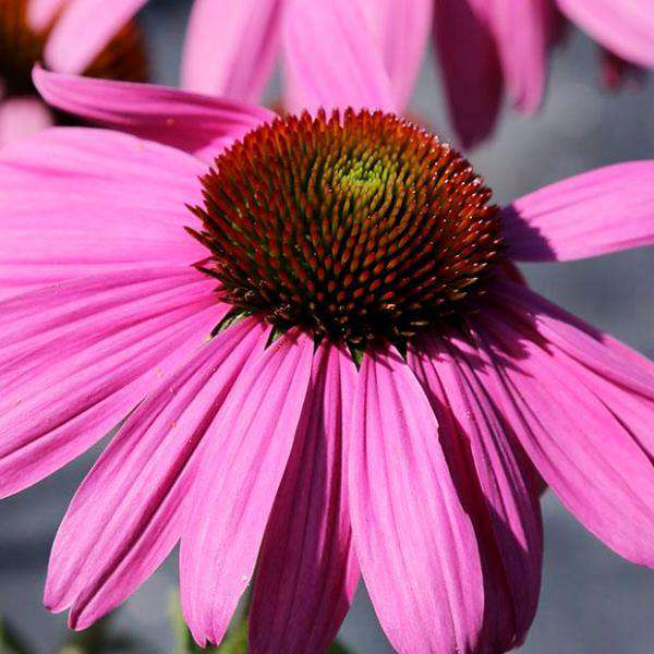Buy Echinacea magnus Coneflower Online | Sun Perennials for Sale | Bay Gardens