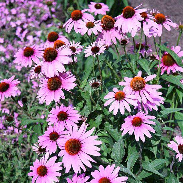 Buy Echinacea 'Prairie Splendor' Online | Shade & Sun Perennials for Sale | Bay Gardens