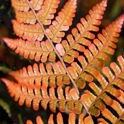 Buy Autumn Fern Online | Shade & Sun Perennials for Sale | Bay Gardens