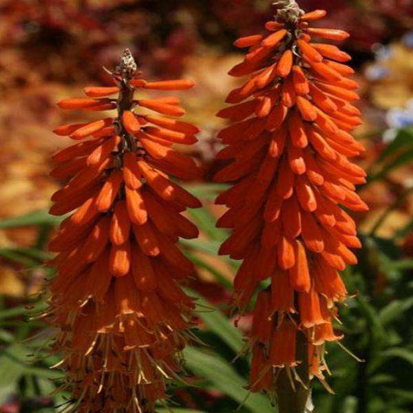 Buy 'First Sunrise' Hot Poker Plant | Sun Perennials | Bay Gardens