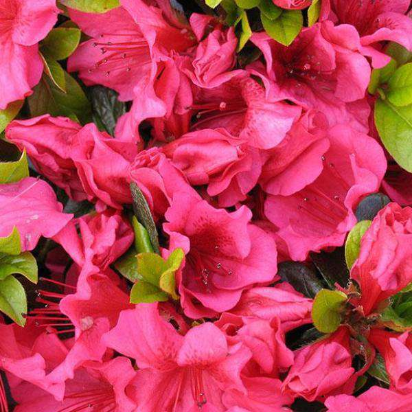 Buy Girards Crimson Azalea | Flowering Evergreen Shrubs | Bay Gardens