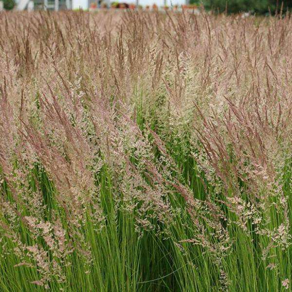 Buy 'Karl Foerster' Feather Reed Grass Online | Deer Resistant Ornamental Grass | Bay Gardens