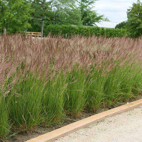 Buy Karl Foerster Feather Reed Grass Online Deer Resistant Grasses Bay Gardens